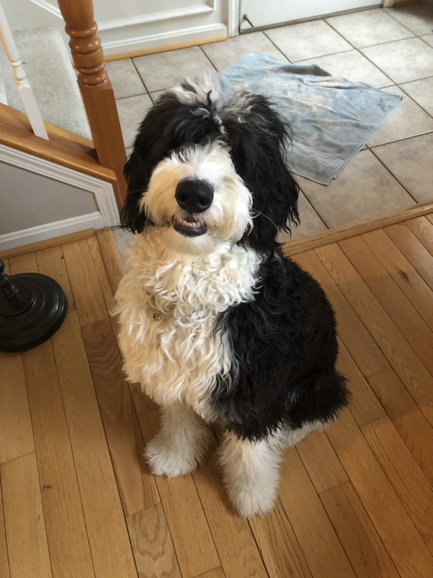 #sheepdog #sheepadoodle #bestdogtraininglouisville #leashwalking