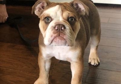 #bulldogtraining #housebreaking #bestdogtraininglouisville