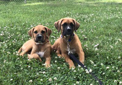#boxerdogtraining, #dogsofbarkbusters #louisvilledogtraining,