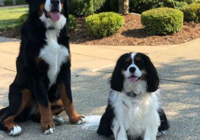 #bernesemountaindogs